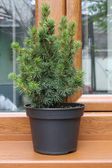 Small christmas tree in pot — Stock Photo