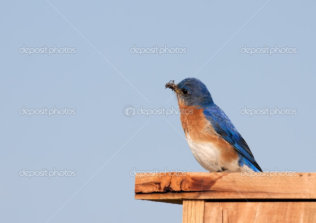 An Eastern Bluebird with an insect in its beak. — Stock Photo #10624019