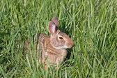 Wild North American Rabbit — Stock Photo