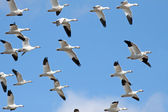 Migrating Snow Geese — Stock Photo