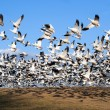 Snow Geese take Flight — Stock Photo