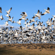 Snow Geese take Flight - Stock Photo