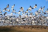 Snow Geese take Flight — Stock Photo