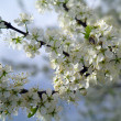 Close up of the cherry blossoms — Stock Photo #10235337