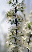 Close-up das flores de cerejeira — Fotografia Stock