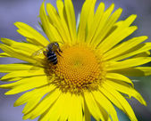 Yellow marguerite flower and bee. — Stock Photo