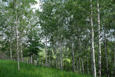 Spring green birch forest — Stock Photo