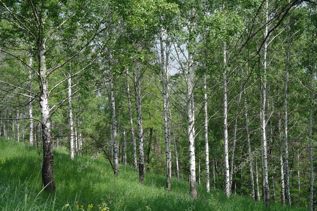 春天绿色白桦林– 图库图片