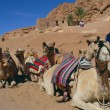 Stock Photo: Camels on rest