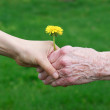 Young and senior's hands holding a dandelion — Stock Photo