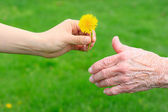 Giving a Dandelion to Senior — 图库照片