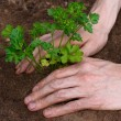 Foto Stock: Planting young parsley