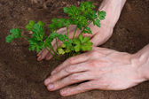 Planting young parsley — Stock Photo