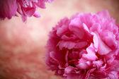 Pink peony flowers — Foto Stock