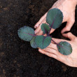 Planting young purple cabbage - Foto de Stock