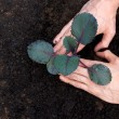 Foto Stock: Planting young purple cabbage