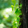 Stock Photo: Ivy on tree trunk