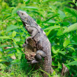 Wild iguana in the forest — Stock Photo