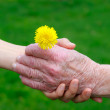 Senior and young hands holding a dandelion — Stock Photo