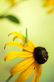 Rudbeckia flowers with grasshopper — Stock Photo
