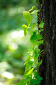 Ivy on the tree trunk — Stockfoto