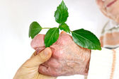 Senior and young hands holding green plant — Stock Photo