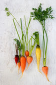 Organic colorful garden carrots — Stock fotografie