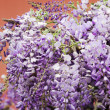 Wisteria plant — Stock Photo