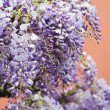 Wonderful wisteria plant — Foto Stock
