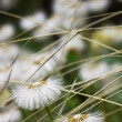 Dandelion flowers field close up — Stock Photo