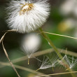 Dandelion close up — Stock Photo