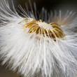 Dandelion flower  in sunlight — Foto de Stock
