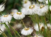 Dandelion field close up — Stock Photo