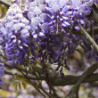 Wisteria tree — Photo