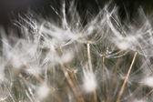 Макро Цветок одуванчика — Стоковое фото