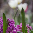 Purple hyacinth with tulips background — Photo
