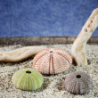 Sea urchins shell on sand — Stok fotoğraf
