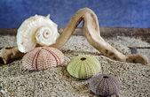 морские ежи абд раковины на песке — Стоковое фото