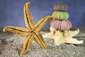 Starfish on sand with sea urchins — Stock Photo