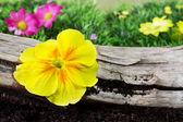желтый первоцвет — Стоковое фото