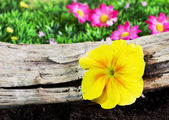 Yellow primrose in a garden — Стоковое фото
