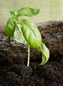 Basilic peu planter sur sol — Photo