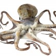 Fresh octopus — Stockfoto #9960424