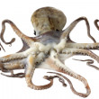 Fresh octopus — Stock Photo