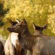 Stock Photo: Elk in fall