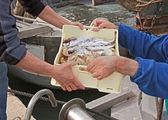 Fishermen unloading crate of fish — Stock Photo