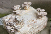 Oyster mushroom cultivation — Stock Photo