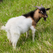 Domestic goat — Stock Photo #8348787