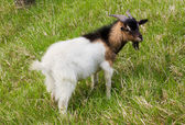 Domestic goat — Stock Photo