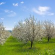 Farm with flowering trees — Stock Photo